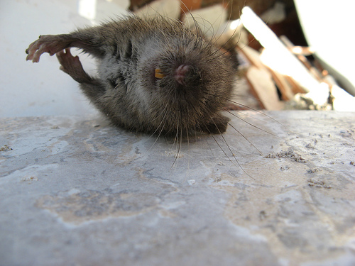 I cast giant rat